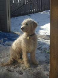 Goldendoodles with poodle-like coats shed rarely or not at all.